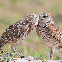 Pair of burrowing owls (Athene cunicularia) outside their burrow nest. Male owl grooms his mate affectionately.
