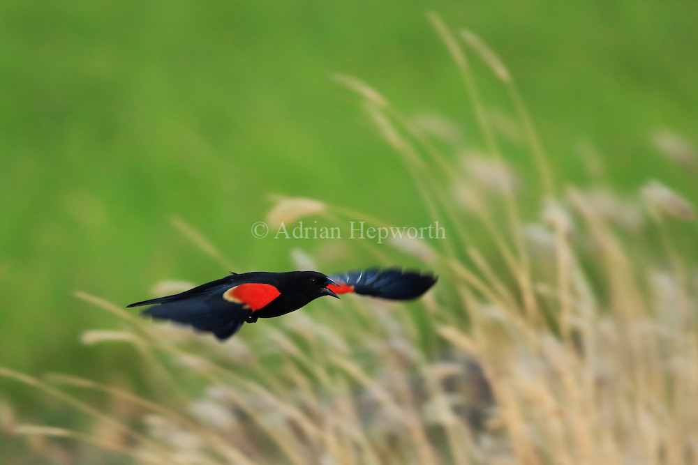 Red-winged blackbird (Agelaius phoeniceus) flying near tropical dry forest. Palo Verde National Park, Guanacaste, Costa Rica.