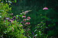 A blooming purple coneflower enjoys the summer rain.