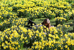An office worker enjoy's the warm spring weather amongst the daffodil's in St.James's Park, London, Friday, 7th March 2014. Picture by Stephen Lock / i-Images