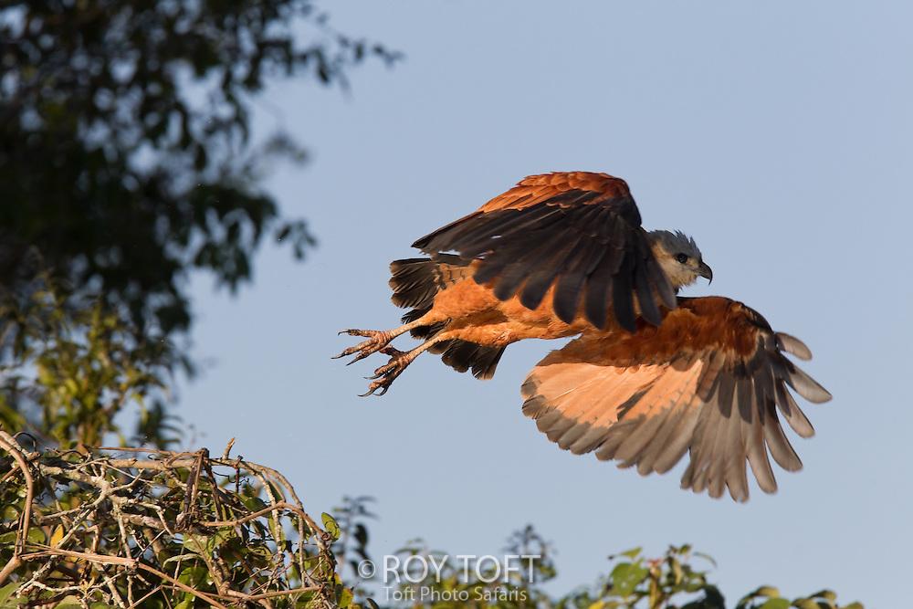 Black-collared hawk (Busarellus nigricollis), in flight, Pantanal, Brazil