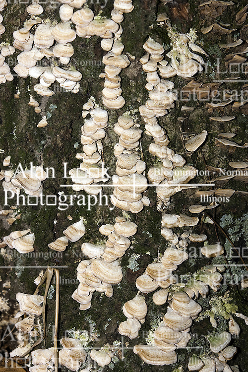 10 Oct 2011: shelf fungus grows on the bark of a tree. Rural Indiana, specifically in or close to Brown County.