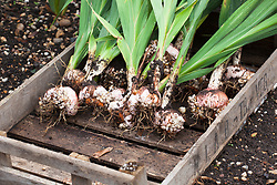 Gladiolus bulbs that have been lifted before winter