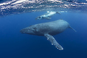 Humpback Whale<br /> Megaptera novaeangliae<br /> Mother and two-week-old calf<br /> Tonga, South Pacific