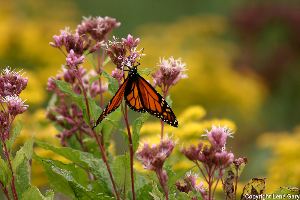 Monarch Butterfly on Joe Pye Weed