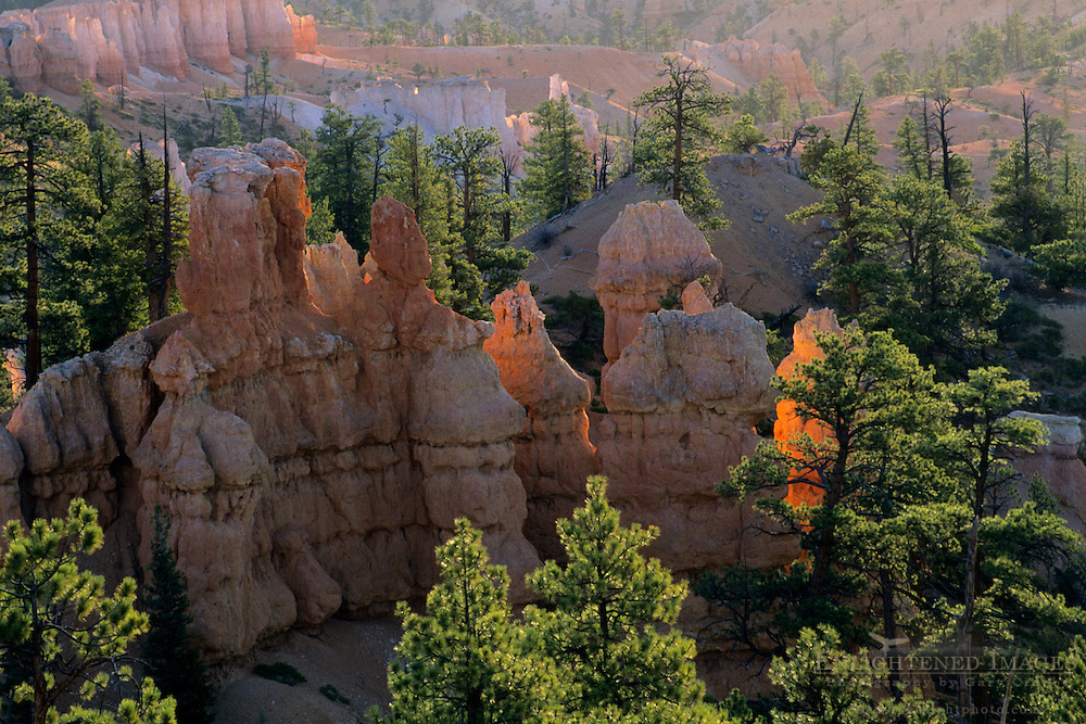 Sunrise light on Hoodoos and pine trees, Queens Garden Trail, Bryce Canyon National Park, UTAH