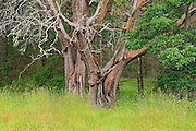 Giant Arbutus tree<br /> Helliwell Provincial Park<br /> British Columbia<br /> Canada