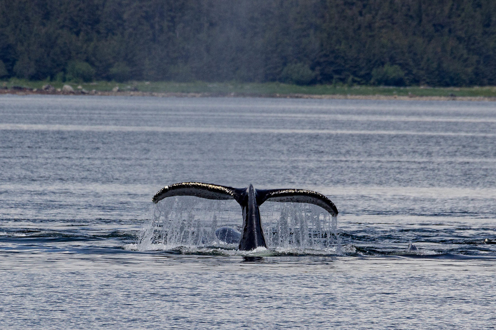 Humpbacks bubble net feeding in Chatham Strait, Southeast Alaska.