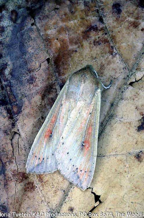 Armyworm Moth,.Pseudaletia unipuncta