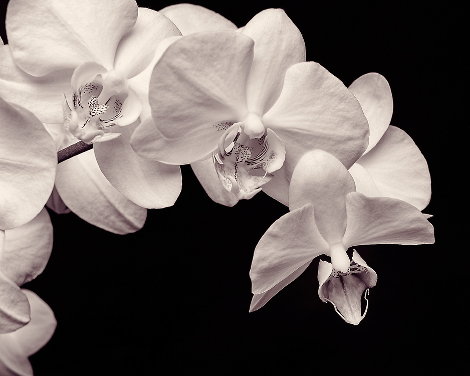 A cascade of phalaenopsis orchid blooms.