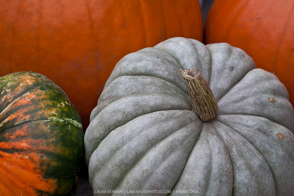 Grey Jarrahdale pumpkin (Cucurbita maxima) is an heirloom variety from New Zealand. It has dstinctive grey-blue skin, 6-10 lb fruits with heavy ribs and a drum shape. Thick flesh is orange, medium sweet and good quality. Long storage life, native to Australia. Matures in 100 days.