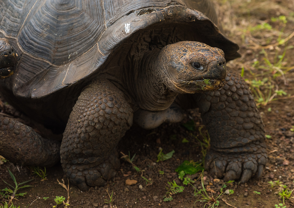 Giant turtle, Santa Cruz, Galapagos, Ecuador.
