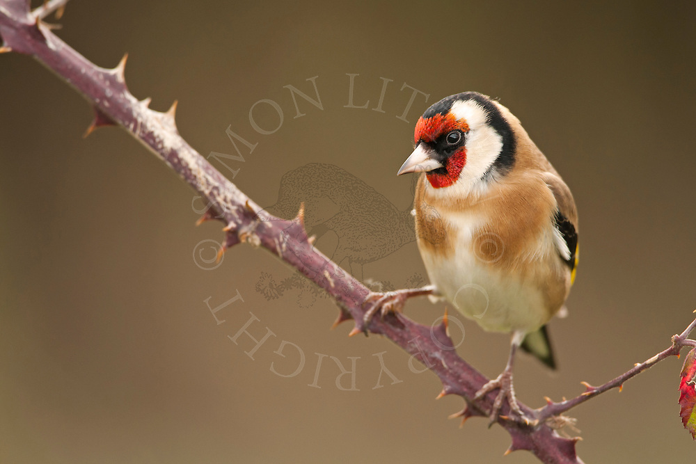 European Goldfinch (Carduelis carduelis) adult, perched on bramble, winter, Norfolk, UK.