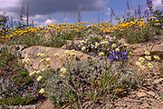 Chelan penstomen, Northern Buckwheat, Desert Yellow Daisy, and Spreading Phlox on Tronsen Ridge