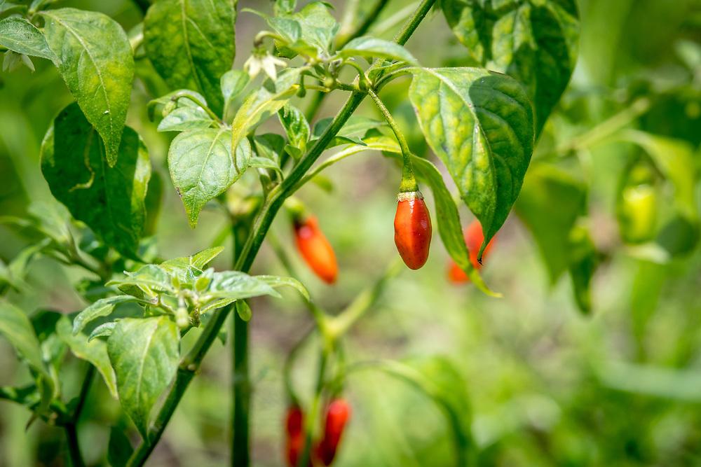 Peppers (Capsicum) grows on a vine in Ganta, Liberia