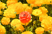 A field of cultivated Buttercup (Ranunculus) flowers for export to Europe. Photographed in Israel Northern Negev