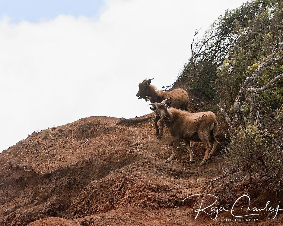 A pair of mountain goats are walking the edges of Waimea Canyon, Koke'e State Park, Kalalau Lookout, Kaua'i, Hawaii