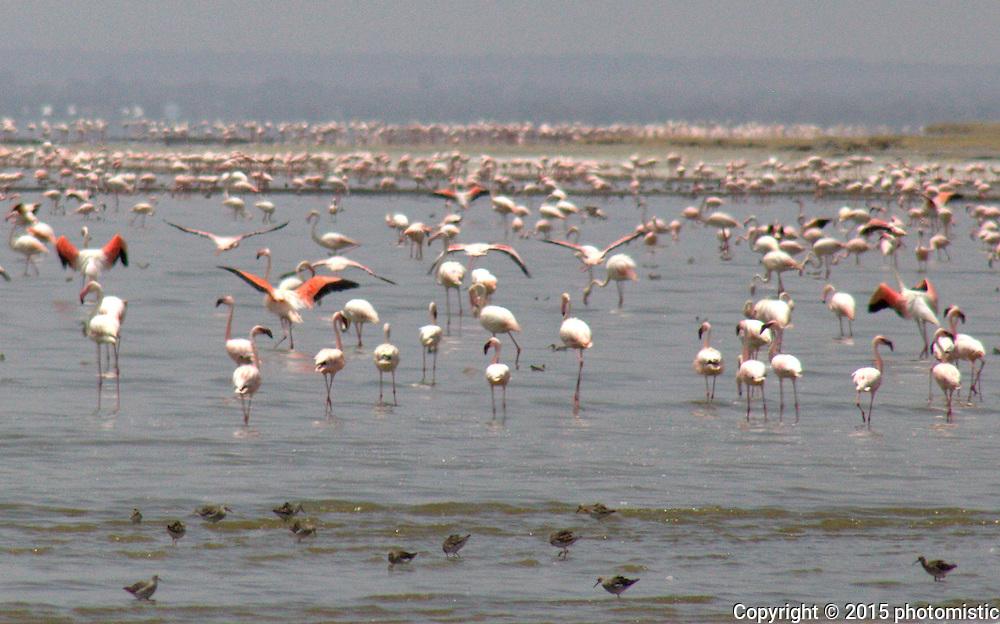 Lake Abiatta flamingos