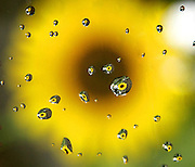 A sunflower catches a break Thursday reflected in rain drops on a car window along N. Woodruff Avenue in Whitefish Bay, Wis.