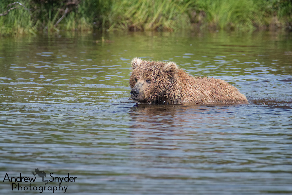 A brown bear (Ursus arctos) in the river - Katmai, Alaska
