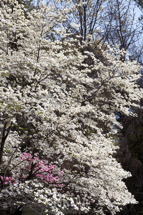 Small cherry blossoms decorate the Spring landscape.