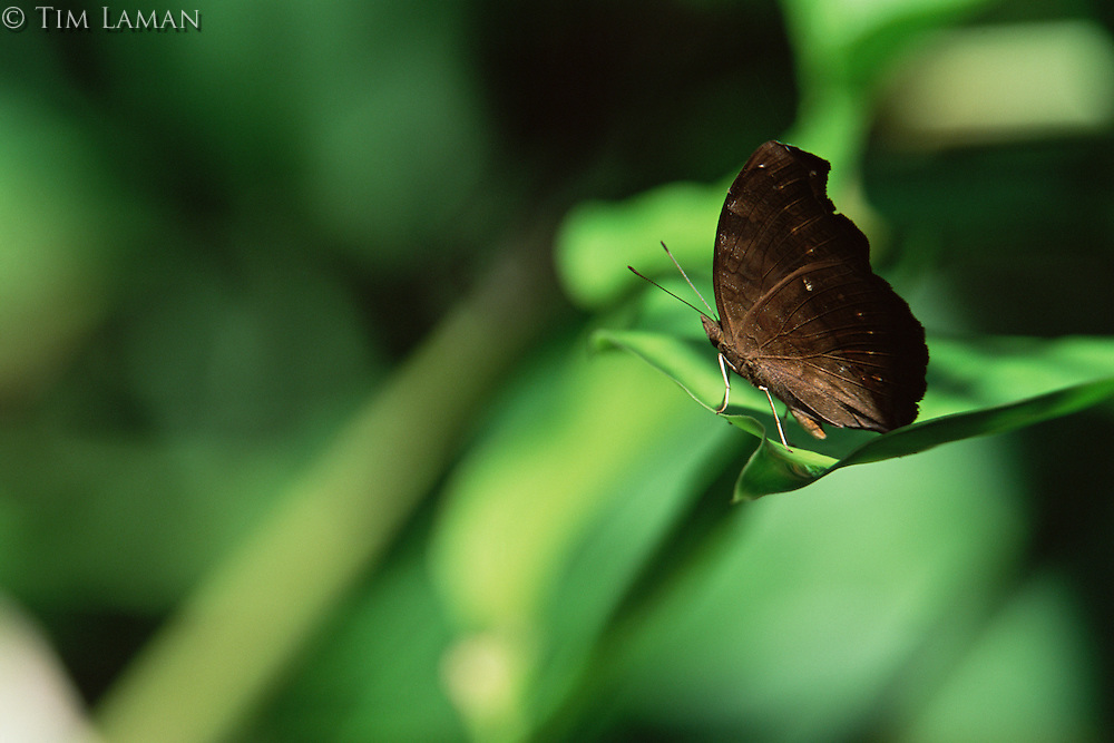 Butterfly on a leaf in Sierra Madre National Park, Luzon, Philippines.  Sep 01.