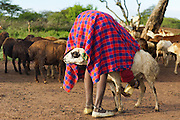 &quot;Morning Chores&quot; won Honorable Mention for the NYC4PA Animals exhibit.<br /> <br /> http://www.nyc4pa.com/#!galleries/vstc1=animals<br /> <br /> The technique the Maasai use to control their goats while milking produced quite the interesting image.  I can't help but chuckle when I see this image.