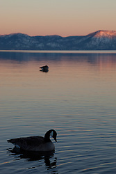 """Canadian Goose at Lake Tahoe 3"" - This alpenglow and Canadian goose was photographed near Commons Beach, Lake Tahoe."