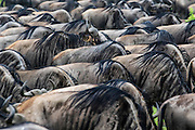 Patterns of wildebeest backs during migration.