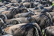 Patterns of wildebeest backs during migration.