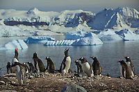 Gentoo Penguins at their nests (Pygoscelis papua), Cuverville Island, Errera Channel