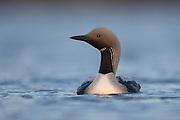 Black throated diver (Gavia arctica), Assynt, Scotland.
