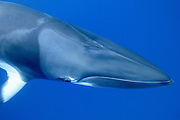 minke whale (Balaenoptera acutorostrata) photographed at the Great Barrier Reef, Queensland, Australia, Pacific Ocean.