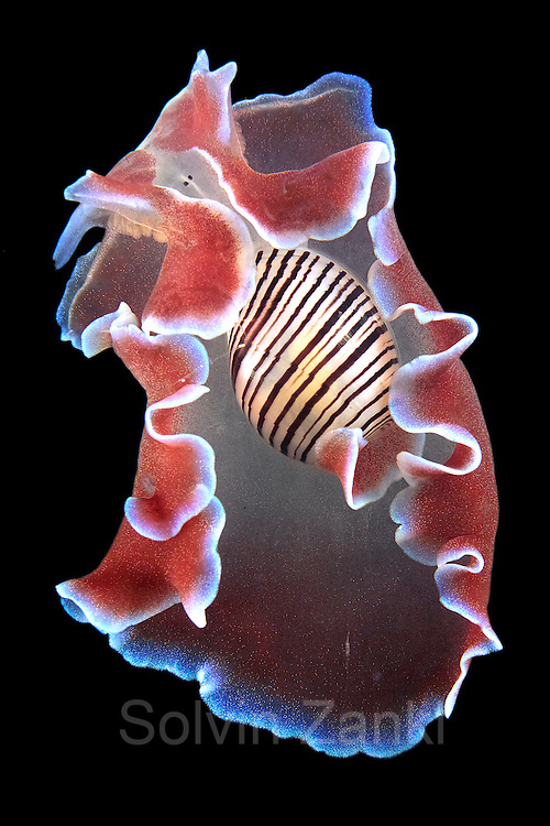 (Hydatina physis),  Another primitive sea-slug, we can see in this species how the body is becoming more prominent than the shell. This represents a stage in the process by which 'snails' have evolved into 'slugs'. This common tropical species feeds on polychaete worms (30mm).