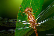 Portrait of a Ruby Meadowhawk