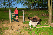Peach Bottom, Pennsylvania - May 17, 2017: Mika McDougall opens the lamb pen so Pinky the sheep can feed her lambs at the McDougall's farm in Lancaster County, Pa., Wednesday May 17, 2017.<br /> <br /> <br /> Chris McDougall and his rescue donkey Sherman regularly run with a group of two other runners and two donkeys among the Amish farms in rural Pennsylvania.<br /> <br /> CREDIT: Matt Roth for The New York Times<br /> Assignment ID: 30206505A