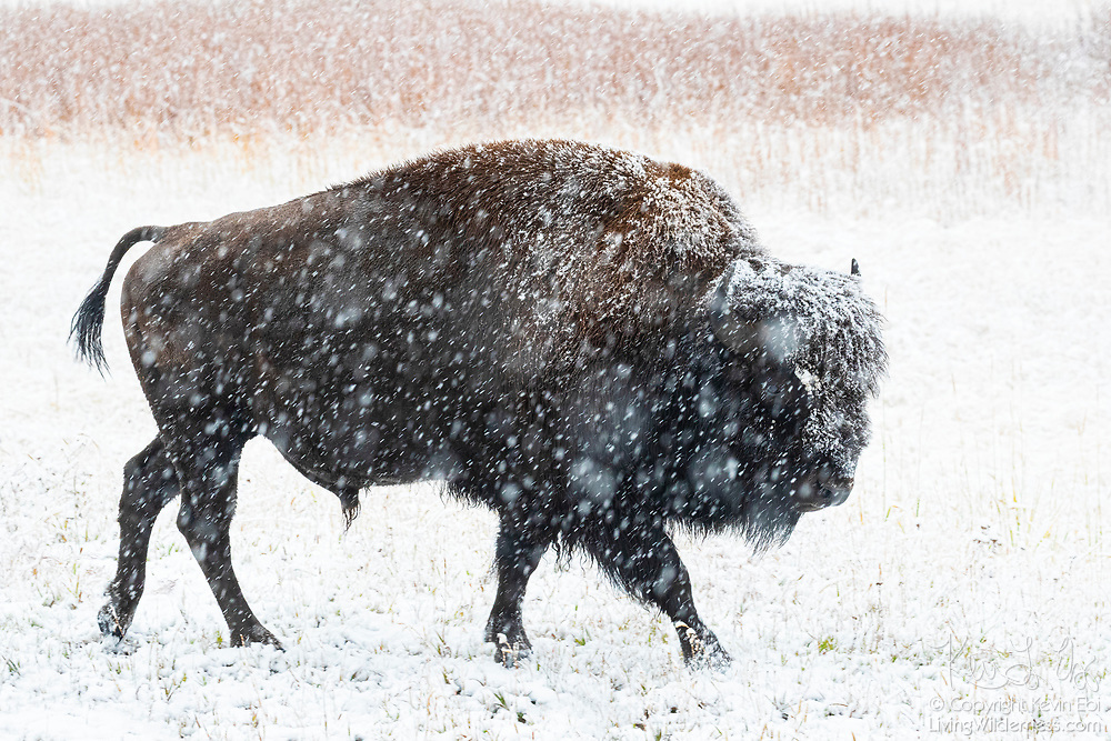 A Plains bison (Bison bison) walks in a heavy snow storm in a field near the Madison River in Yellowstone National Park, Wyoming. American bison are sometimes mistakenly referred to as buffalo; they are only distantly related to true buffalo.