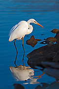 Great Egret along the shore of Lake Murray.  Stalking prey.