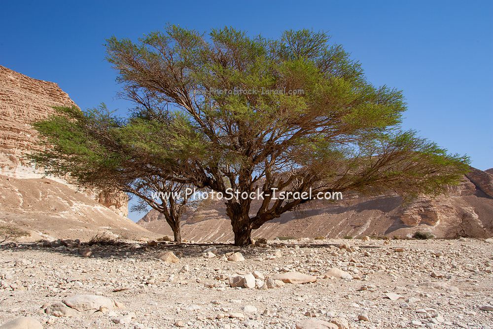 Israel, Arava region, Umbrella Thorn Acacia (Vachellia tortilis). A medium to large canoped tree native to arid areas in the savannahs of Africa and the Middle East