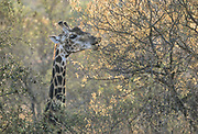 Giraffe feed on a variety of plant matter, and are opportunists; taking advantage of seasonal blooms of fruit and flowers, such as these acacia blooms in the Timbavati Game Reserve, South Africa . Giraffe are efficient feeders, having a four-chambered stomach, and also a modified dental ridge together with a long armoured tongue to allow it to browse on thorny vegetation.