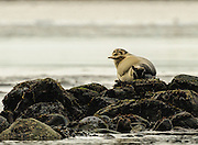 Harbor Seals resting on the rocks in the Merrimac River off of Salisbury State Reservation