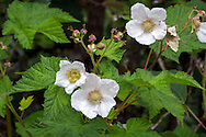 Thimbleberry (Rubus parviflorus) flowers and leaves in the Fraser Valley of British Columbia, Canada