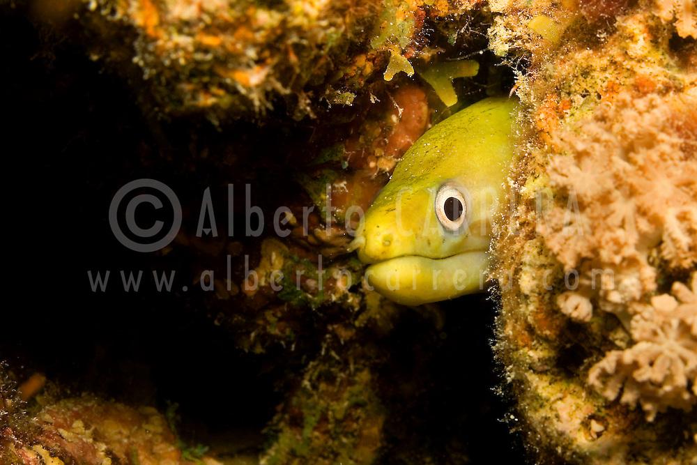 Alberto Carrera, Yellow moray, Red Sea, Egypt