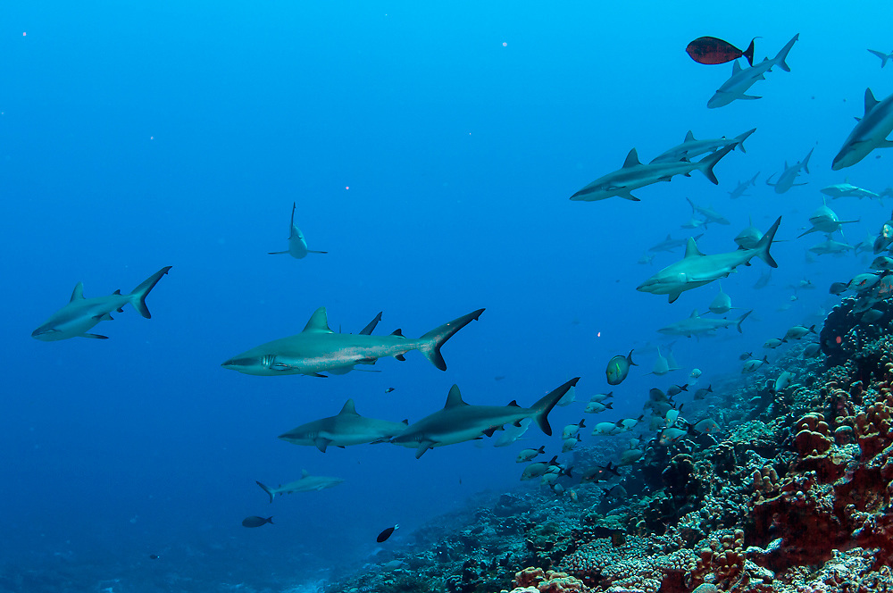 Grey Reef Sharks, Carcharhinus amblyrhynchos, school in the Tetamanu Pass of Fakarava Atoll in French Polynesia