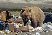 Grizzly bear at dump station, southcentral Alaska.