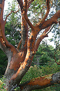 Madrona tree, San Juan Islands, Washington<br />