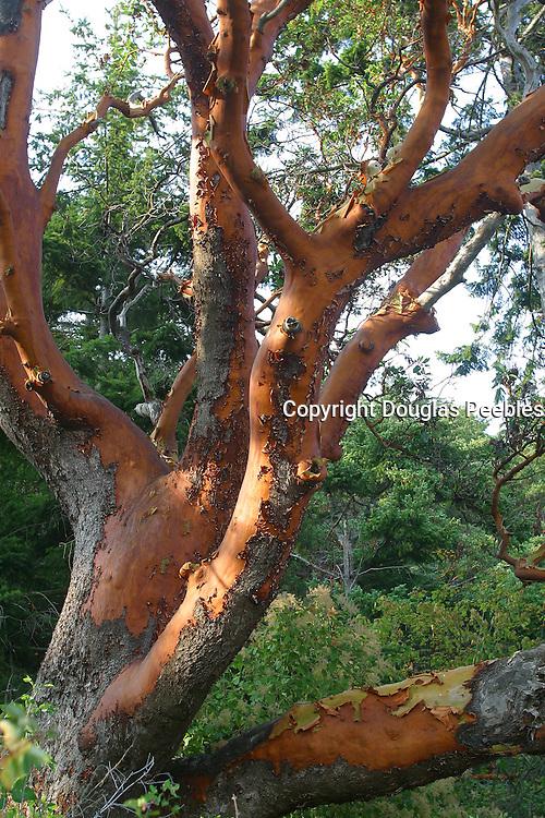 Madrona tree, San Juan Islands, Washington<br />