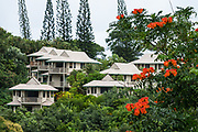 Lodging in Princeville, on the island of Kauai, Hawaii, USA. Orange flowers of the African Tulip Tree (Spathodea campanulata).