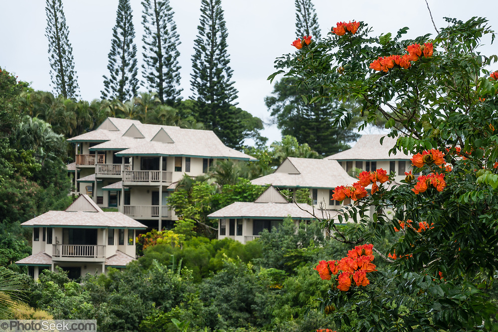 Lodging in Princeville, on the island of Kauai, Hawaii, USA. Orange flowers of the African Tulip Tree (Spathodea campanulata).