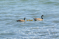 A pair of Canadian Geese (aka Canada Geese) swimming with their chicks in the Pacific Ocean, near Jenner, Sonoma County, California, USA. It is easily recognised with its distinctive a black head and neck, white patches on its face, and a brownish-gray body. 201304292087<br /> <br /> Copyright Image from Victor Patterson, 54 Dorchester Park, Belfast, UK, BT9 6RJ<br /> <br /> Tel: +44 28 9066 1296<br /> Mob: +44 7802 353836<br /> Voicemail +44 20 8816 7153<br /> Skype: victorpattersonbelfast<br /> Email: victorpatterson@me.com<br /> Email: victorpatterson@ireland.com (back-up)<br /> <br /> IMPORTANT: If you wish to use this image or any other of my images please go to www.victorpatterson.com and click on the Terms & Conditions. Then contact me by email or phone with the reference number(s) of the image(s) concerned.